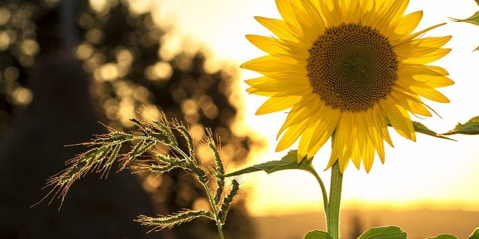 sunflower-sun-summer-yellow-1024x683-landscape